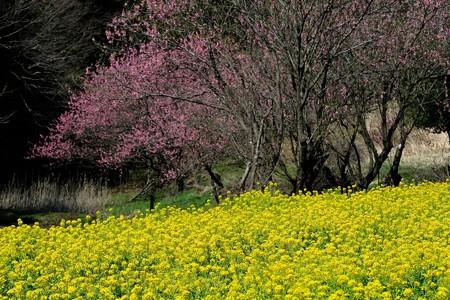 2020.03.18 追分市民の森 ナノハナ畑に花桃