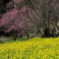 Photos: 2020.03.18 追分市民の森 ナノハナ畑に花桃