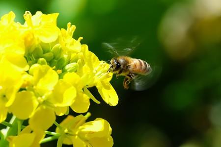 2020.03.18 追分市民の森 菜の花にミツバチ