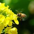 Photos: 2020.03.18 追分市民の森 菜の花にミツバチ