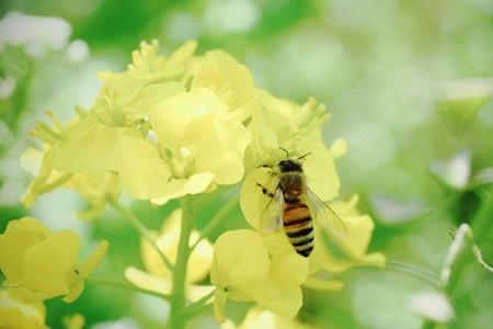 2020.03.18 追分市民の森 菜の花へミツバチ