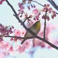 Photos: 2020.03.19 和泉川 メジロ