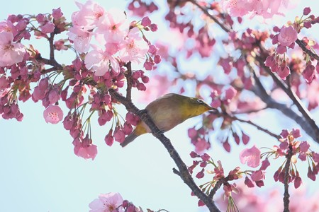 2020.03.19 和泉川 陽光桜でメジロ 詠う