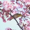 Photos: 2020.03.19 和泉川 陽光桜でメジロ 詠う