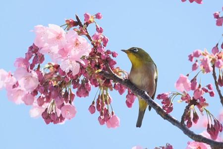 2020.03.19 和泉川 陽光桜でメジロ 花束