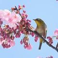 Photos: 2020.03.19 和泉川 陽光桜でメジロ 花束
