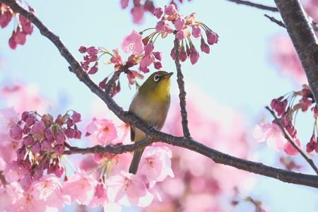 2020.03.19 和泉川 陽光桜でメジロ 春