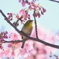Photos: 2020.03.19 和泉川 陽光桜でメジロ 春