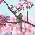 Photos: 2020.03.19 和泉川 陽光桜でメジロ 恋待ち