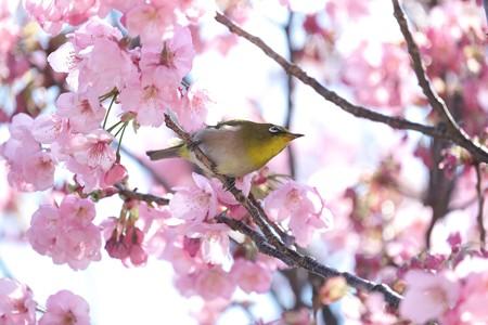 2020.03.19 和泉川 陽光桜でメジロ