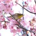 Photos: 2020.03.19 和泉川 陽光桜でメジロ