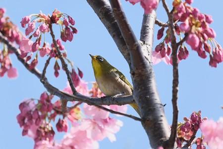 2020.03.19 和泉川 陽光桜にメジロ