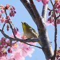Photos: 2020.03.19 和泉川 陽光桜にメジロ