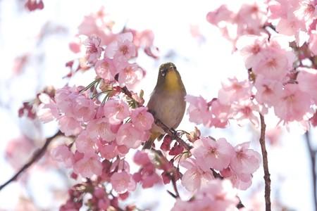 2020.03.19 和泉川 陽光桜へメジロ