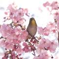 Photos: 2020.03.19 和泉川 陽光桜へメジロ