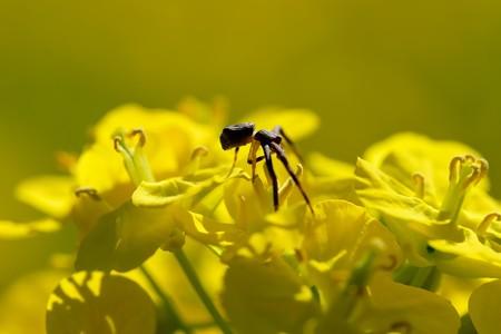 2020.03.20 追分市民の森 菜の花でガザミグモ