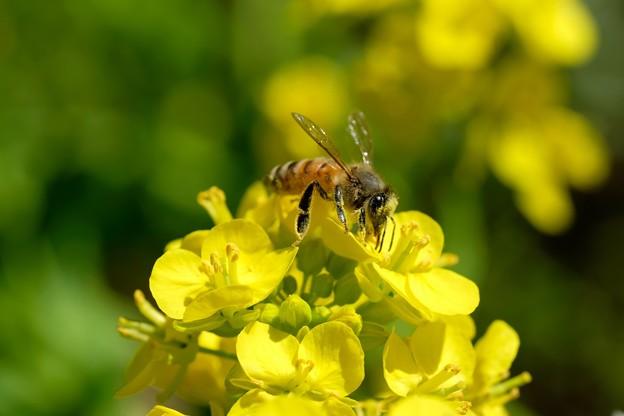 Photos: 2020.03.20 追分市民の森 菜の花とミツバチ