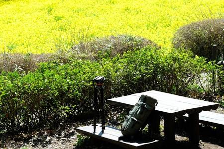 2020.03.20 追分市民の森 菜の花畑 ベンチ