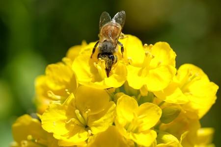 2020.03.21 追分市民の森 菜の花にミツバチ 壷中天あり