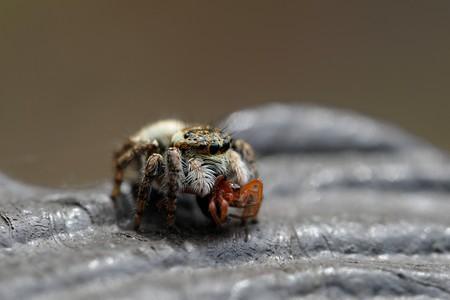2020.03.22 追分市民の森 ハエトリグモ クモを銜えて