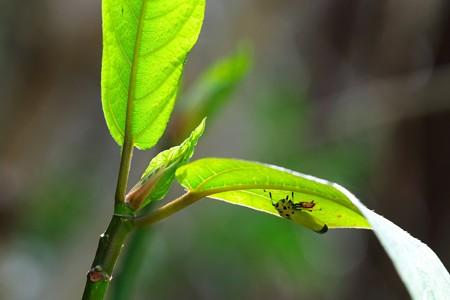 2020.03.22 追分市民の森 新緑葉裏にツマグロオオヨコバイ