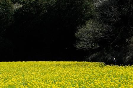 2020.03.25 追分市民の森 菜の花