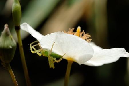 2020.04.11 瀬谷市民の森 白雪芥子にワカバグモ