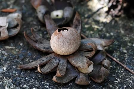 2020.04.14 瀬谷市民の森 Geastrum fimbriatum 木の実か茸か