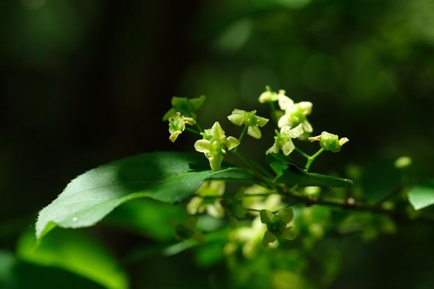 2020.05.02 追分市民の森 緑の花にアリ