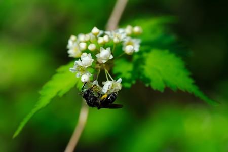 2020.05.03 追分市民の森 小米空木に小さな黒いハナハチ