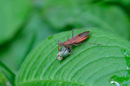 2020.05.05 追分市民の森 アカサシガメ  ガの幼虫を捕食