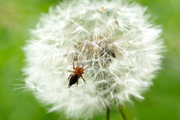 2020.05.05 追分市民の森 蒲公英 小さなクモ