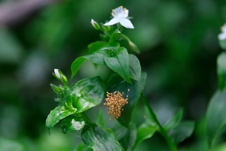 2020.05.17 和泉川 常盤露草でクモの子