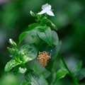Photos: 2020.05.17 和泉川 常盤露草でクモの子