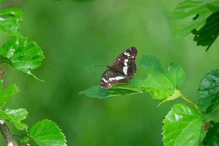 2020.05.27 和泉川 桑の木にイチモンジチョウ