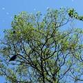 2020.05.29 瀬谷市民の森 キアシドクガと烏