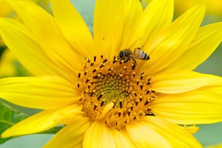 2020.05.31 瀬谷市民の森 向日葵にミツバチ