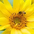 Photos: 2020.05.31 瀬谷市民の森 向日葵にミツバチ