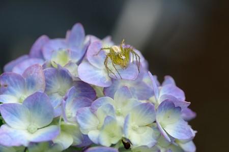 2020.06.02 追分市民の森 紫陽花にササグモ