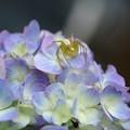 Photos: 2020.06.02 追分市民の森 紫陽花にササグモ