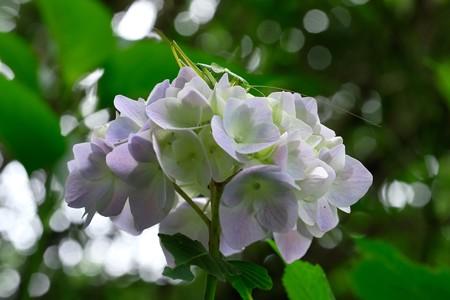 2020.06.04 瀬谷市民の森 紫陽花にヤブキリ