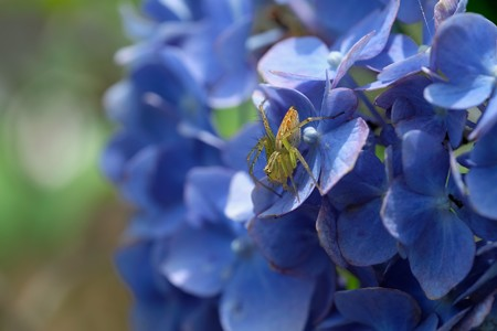 2020.06.09 追分市民の森 紫陽花にササグモ