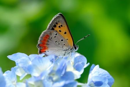 2020.06.09 追分市民の森 紫陽花にベニシジミ