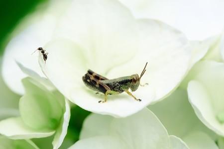 2020.06.15 追分市民の森 紫陽花でフキバッタとアリ