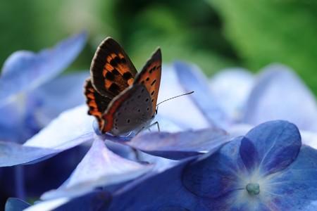 2020.06.15 追分市民の森 紫陽花にベニシジミ