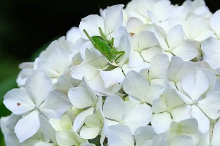 2020.06.15 追分市民の森 紫陽花にヤブキリ