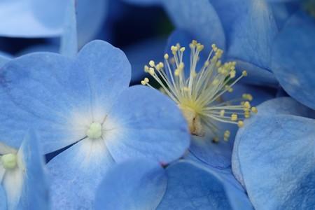2020.06.15 追分市民の森 紫陽花に上の木から花芯