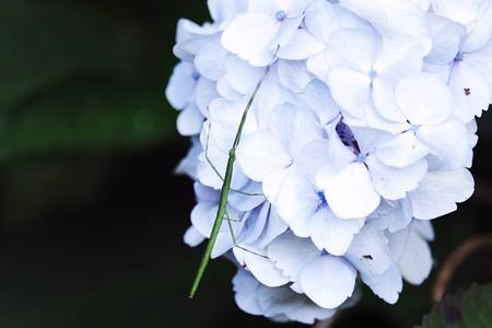 2020.06.17 和泉川 紫陽花にナナフシ