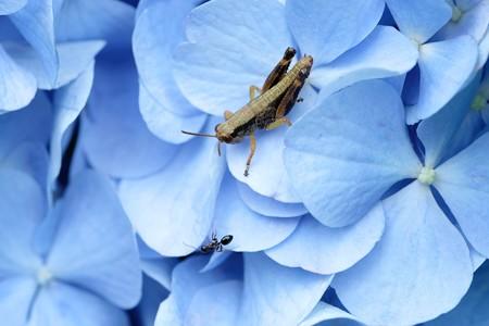 2020.06.18 追分市民の森 紫陽花でフキバッタとアリ