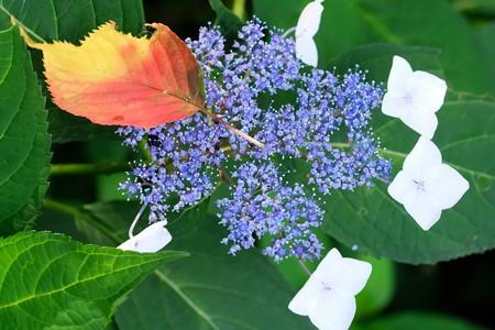 2020.06.20 和泉川 紫陽花とサクラ